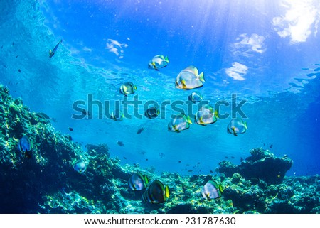 platax teira - stock photo