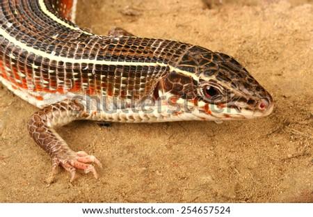 Plated Lizard (Gerrhosaurus flavigularis). - stock photo