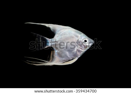 Platinum Angel Fish on a Black Background - stock photo