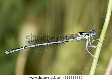 Platycnemis pennipes / White-legged Damselfly, male - stock photo