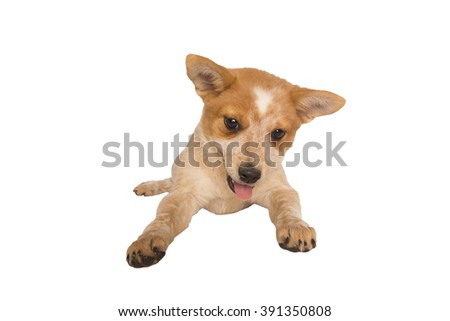Playful Australian cattle dog pup lying down isolated on white background