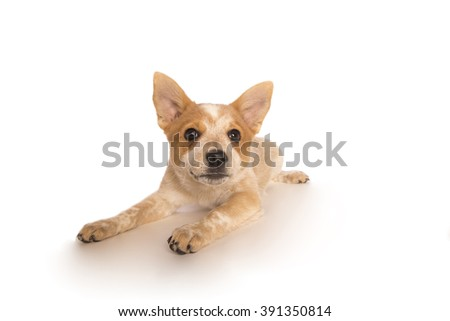 Playful Australian cattle dog pup lying down isolated on white background - stock photo