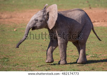Playful baby African elephant with wrinkly skin and long trunk