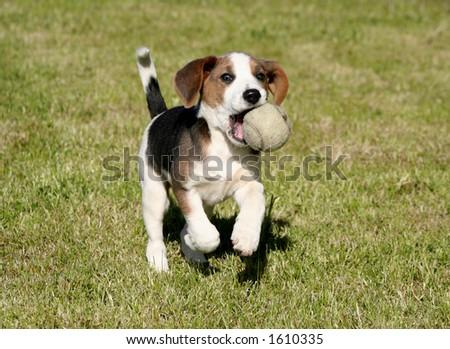 Playful Beagle - stock photo