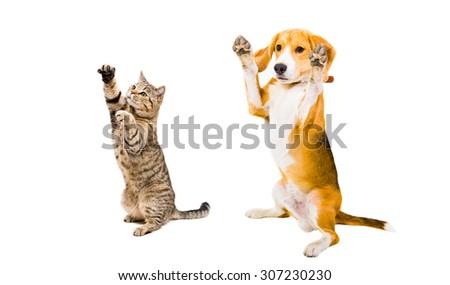 Playful Beagle dog and cat Scottish Straight isolated on white background - stock photo