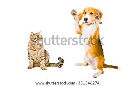Playful  Beagle dog and cat Scottish Straight, isolated on white background - stock photo