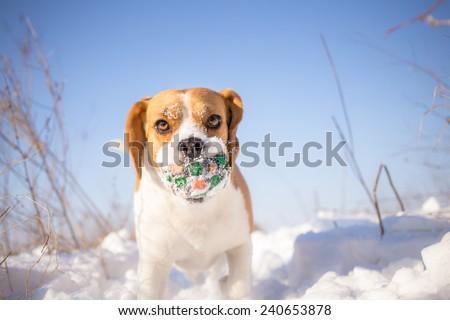 Playful Beagle dog  winter background - stock photo