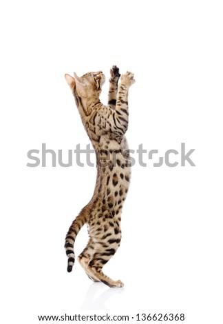 playful Bebgal cat. isolated on white background - stock photo