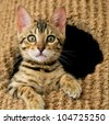 Playful Bengal kitten staring at the camera from the top of her cat tree - stock photo