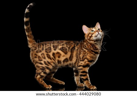 Playful Bengal Male Cat with beautiful spots Standing, Looking up, on Isolated Black Background, Side view, Adorable breed - stock photo