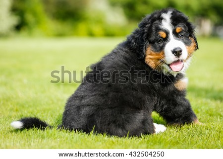 Playful Bernese Mountain Dog - stock photo