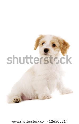 Playful Bichon Frise cross puppy sat isolated on a white background - stock photo