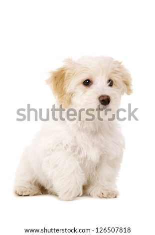 Playful Bichon Frise cross puppy sitting isolated on a white background