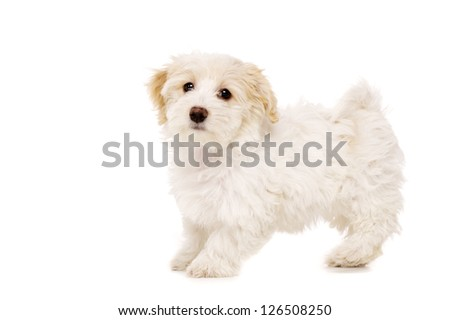 Playful Bichon Frise cross puppy stood looking at the camera isolated on a white background - stock photo