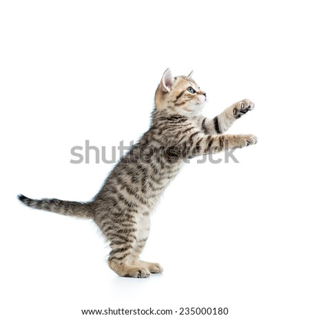 playful cat kitten looking up isolated - stock photo