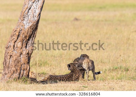 Playful cheetah cubs who want to play with the mother that rests in the shade - stock photo