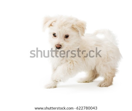 Playful cute little puppy running on white studio background