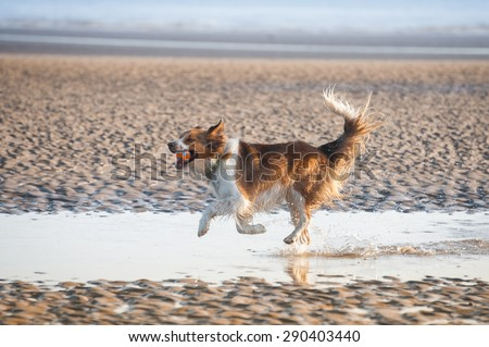 playful dog on a beach at sunset - stock photo