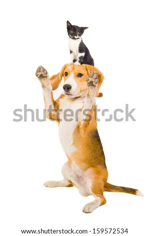 Playful dog with a kitten on the head - stock photo