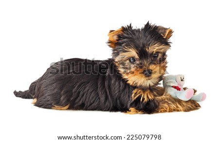 Playful dog with chew toy. Yorkshire Terrier puppy playing with toy. Shallow depth of field. - stock photo