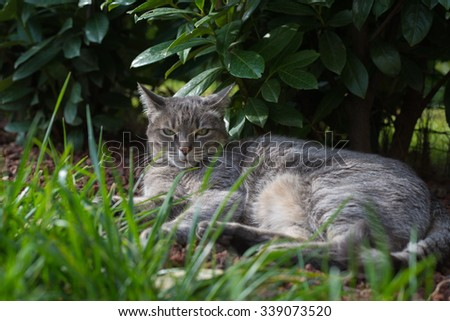 Playful domestic cat lying on one side on the grass looking at the camera. Shot outdoors in home garden with very shallow depth of field, focused on the green eyes. - stock photo