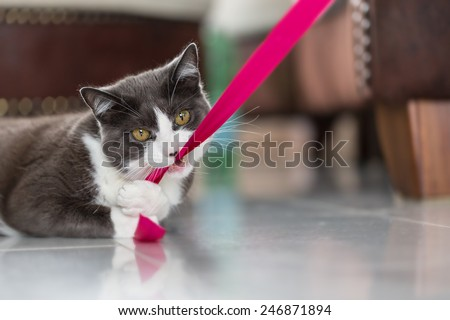 Playful domestic shorthair cat biting into a pink ribbon - stock photo