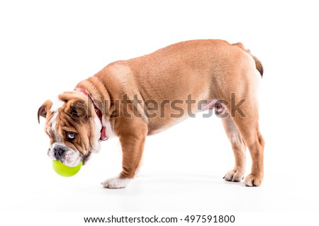 Playful English bulldog pup on white background,selective focus
