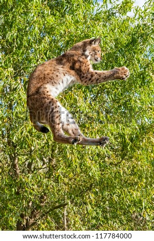 Playful Eurasian Lynx Jumping to Catch Something in Paws against Trees - stock photo