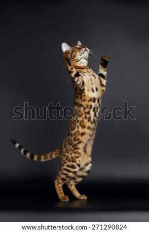 Playful Female Bengal Cat stands on Rear Legs on black Background - stock photo