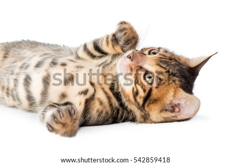 playful fluffy kitten on a white background closeup