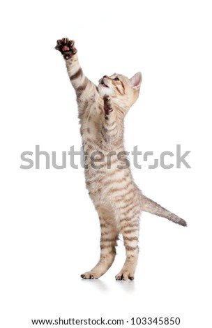 playful funny kitten isolated on white background - stock photo