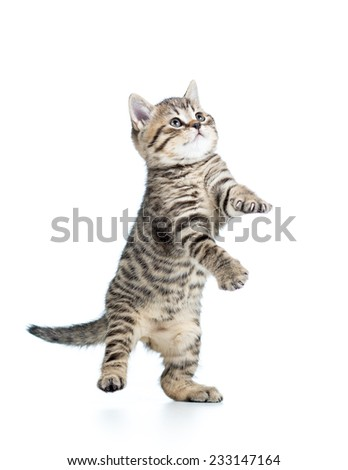 playful funny scottish kitten looking up isolated - stock photo