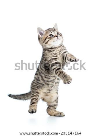 playful funny scottish kitten looking up isolated - stock photo