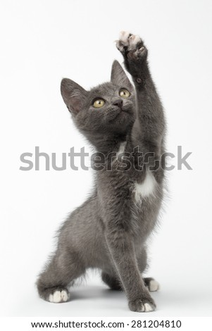 Playful Gray Kitty Raising Paw and Looking up on White Background - stock photo