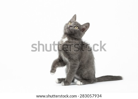 Playful Gray Kitty Sits on White Background