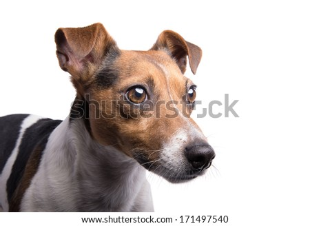 Playful Jack Russel terrier dog is isolated on a white background.