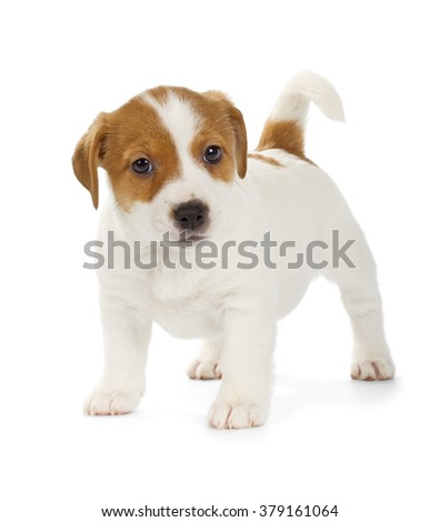 Playful Jack Russell Terrier puppy isolated on white background. Front view, standing. - stock photo