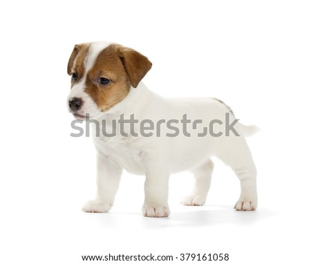 Playful Jack Russell Terrier puppy isolated on white background. Side view, standing.