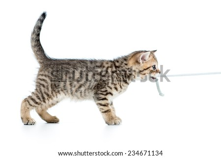 playful kitten cat pulls cord isolated on white background  - stock photo
