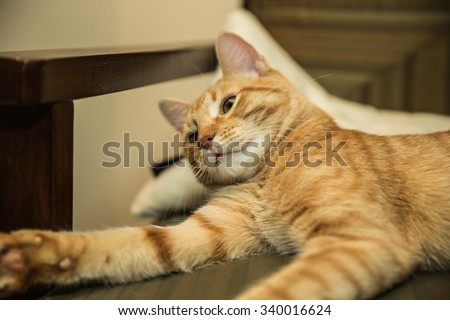 Playful kitty cat reaching out with paw on chair - striped orange Tabby kitten - stock photo