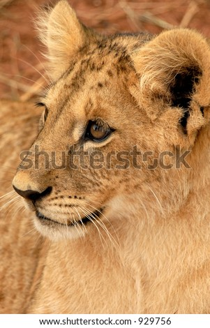 Playful lion cub, South Africa