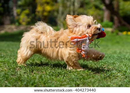 Playful little orange havanese puppy dog is running with her favorite toy in her mouth in a spring garden - stock photo