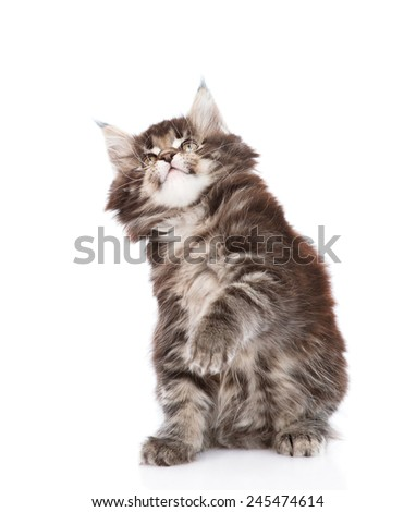 playful maine coon cat looking up. isolated on white background - stock photo