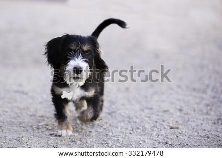 Playful mixed breed small puppy running toward camera  - stock photo