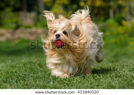 Playful orange havanese dog is running with a pink ball in his mouth in a spring garden - stock photo
