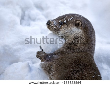 Playful Otter Holding a Snowball - stock photo