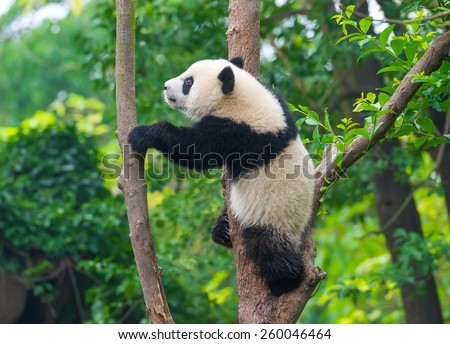Playful panda bear climbing tree - stock photo