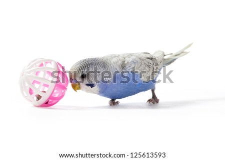 Playful parakeet with toy on white background