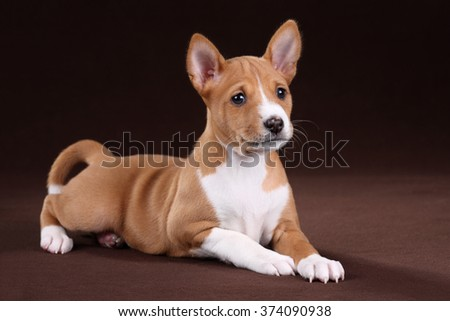 Playful puppy basenji lying on a brown background