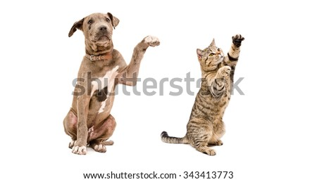 Playful puppy pit bull and cat Scottish Straight isolated on white background